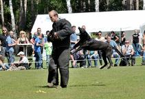 "This is ""Mido"" a Black Malinois in the National KNPV Championship."