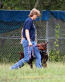 Here's a demonstration showing the German Dobermann, Doc vom Dragonerreich, training for competition heeling at Euro Pros K-9 Center.