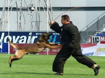 The point of impact: Decoy & KNPV Malinois.